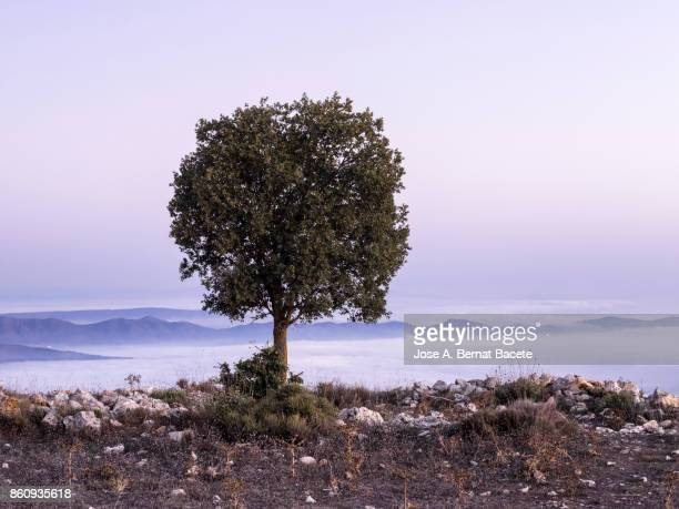 Plain on the top of a mountain with a tree and a landscape with a valley and covered mountains of fog. Valencian Community, Spain.