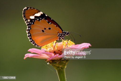 Plain Tiger butterfly : Stock Photo