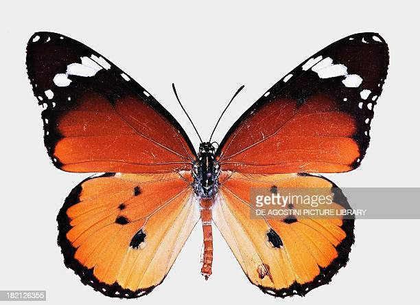 Plain tiger or African monarch butterfly Nymphalidae
