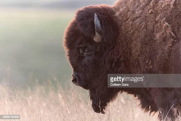 Plains Bison Bull, Grasslands National Park, Saskatchewan, Canada