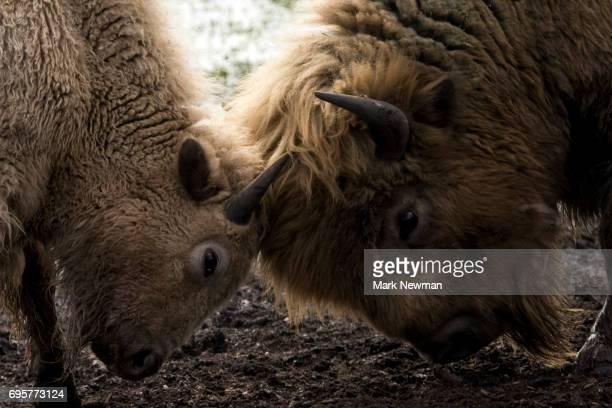 Plains Bison, fighting