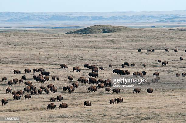 Plains bison.