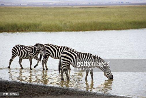 Plains or Burchells Zebras, Equus burchelli, drinking from lake, Ngorongoro Crater, Tanzania : Stock Photo