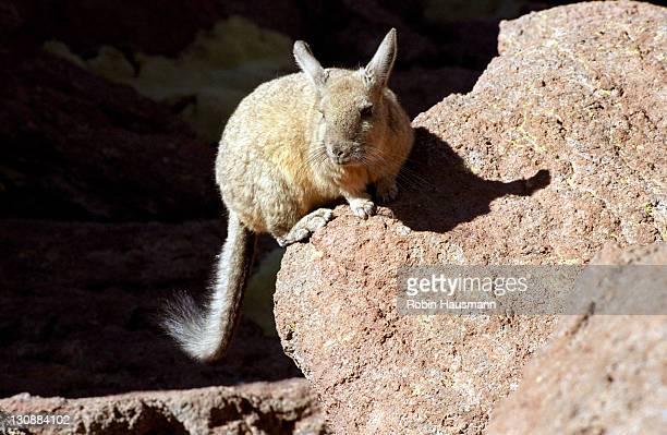 Plains Viscacha (Lagostomus maximus), Reserva Nacional de Fauna Andina Eduardo Avaroa nature reserve, Bolivia, South America