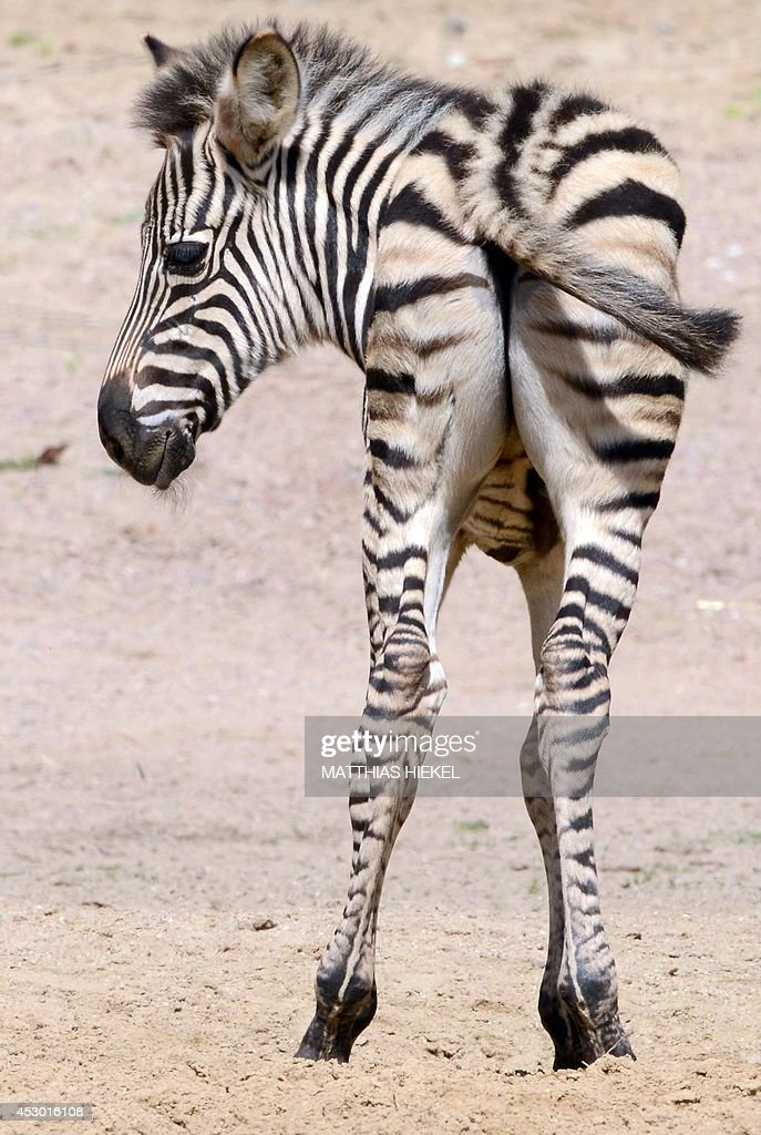 Plains zebra baby Ubangi stands at his enclosure at the zoo in Dresden eastern Germany on August 1 2014 Ubangi was born on June 30 2014 at the zoo...