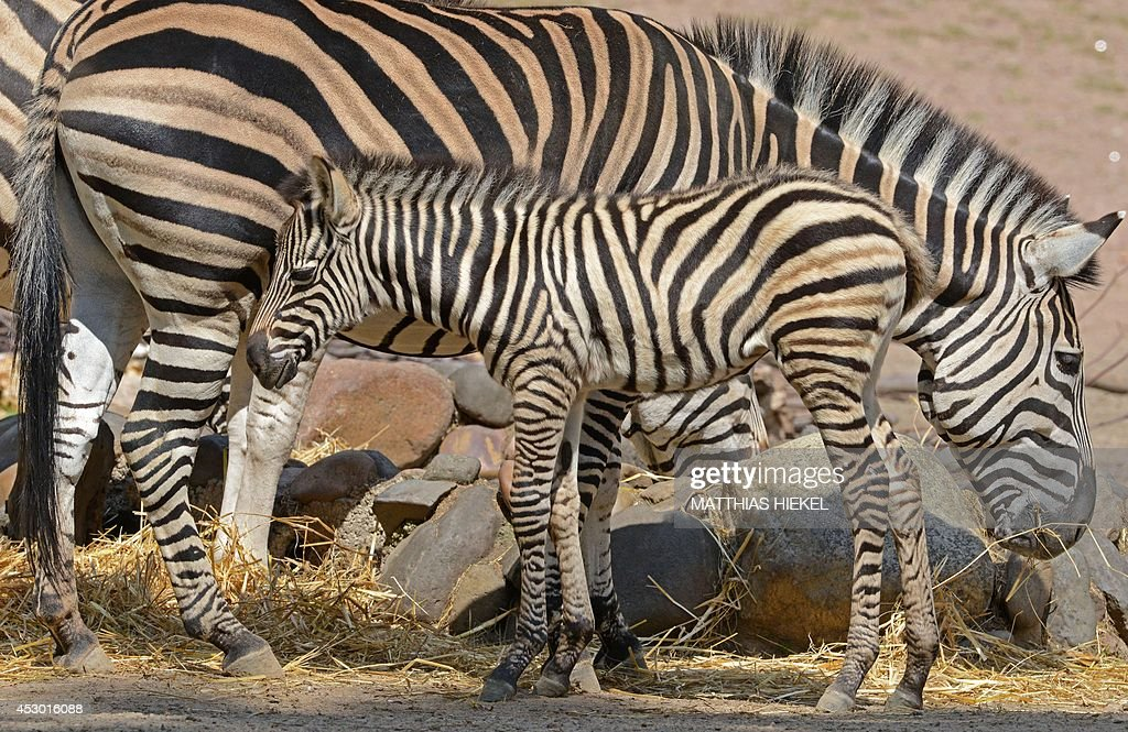 Plains zebra baby Ubangi stands next to his mother Elena at the zoo in Dresden eastern Germany on August 1 2014 Ubangi was born on June 30 2014 at...