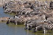 Plains Zebra Drink at Watering Hole, Etosha NP