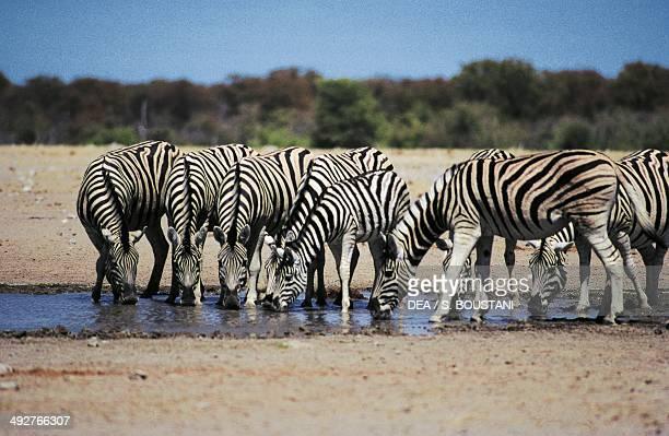 Plains zebra Equidae Etosha National Park Namibia