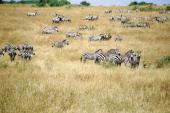 Plains zebra Equidae Masai Mara National Reserve Kenya