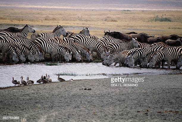 Plains zebra Equidae