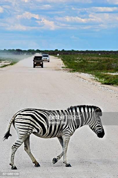 Plains Zebra -Equus quagga- crossing road, Etosha National Park, Namibia