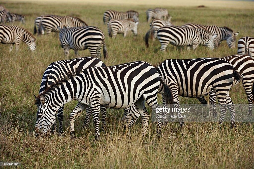 Plains Zebra, Equus quagga : Stock Photo