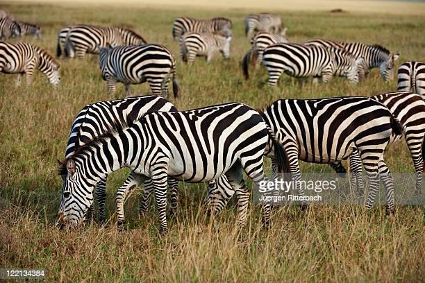 Plains Zebra, Equus quagga