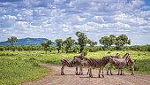 Specie Equus quagga burchellii family of Equidae