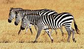 Plains Zebra Migration