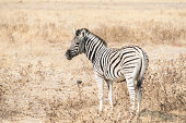 Plains Zebra or Burchell's Zebra -Equus burchelli-, Etosha National Park, Namibia