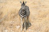 Plains Zebra or Burchell's Zebra -Equus quagga burchelli- in bushland, Etosha National Park, Namibia