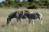 Plains Zebra or Burchell's Zebra -Equus quagga- with a foal, Etosha National Park, Namibia