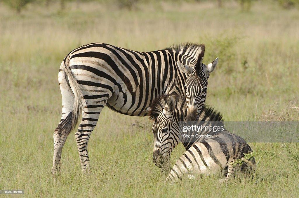 Plains Zebra (Equus quagga) pair resting on plains, Okavango Delta, Botswana : Stock Photo