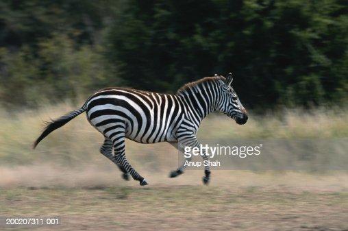 Plains zebra (Equus burchelli) running, side view, Masai Mara N.R, Kenya : Stock Photo