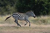 Plains zebra (Equus burchelli) running, side view, Masai Mara N.R, Kenya
