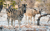 Plains Zebras -Equus burchellii-, Etosha National Park, Namibia