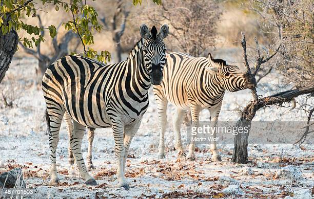Plains Zebras -Equus burchellii-, Etosha National Park, Namibia