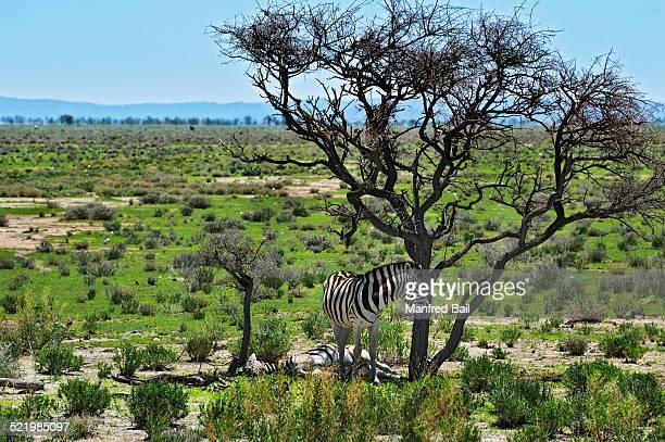 Plains Zebras -Equus quagga-, Etosha National Park, Namibia