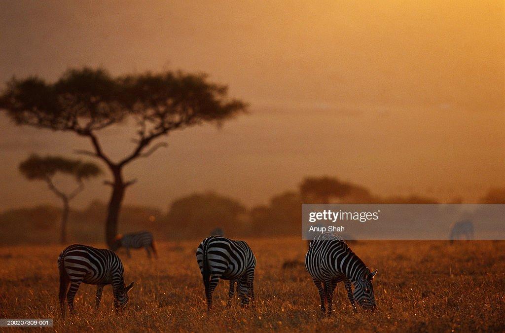 Plains zebras ( Equus burchelli) grazing at dusk, Masai Mara N.R, Kenya