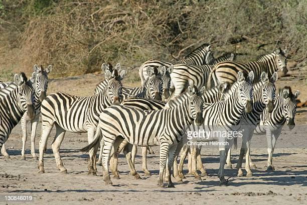 Plains Zebras (Equus quagga burchelli) in the dry riverbed, Boteti River, Khumaga, Makgadikgadi Pans National Park, Botswana, Africa