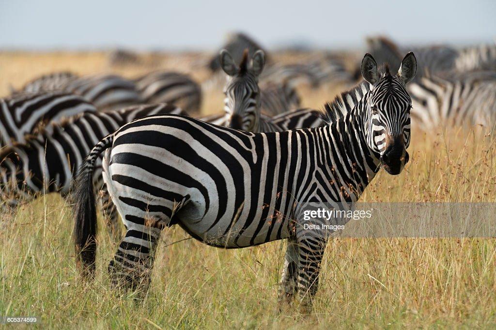Plains zebras (Equus quagga), Masai Mara, Kenya, Africa