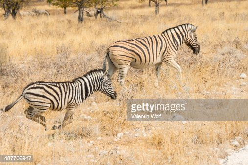 Plains Zebras or Burchell's Zebras -Equus quagga burchelli-, Etosha National Park, Namibia