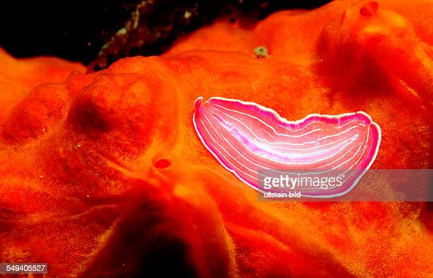 Planaria worm Turbellaria Spain Mediterranean Sea Costa Brava