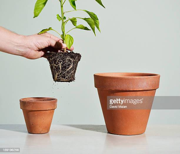 Plant being transferred to a bigger pot