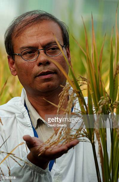 Plant Biotechnologist Dr Swapan Datta inspects a genetically modified 'Golden Rice' plant at the International Rice Research Institute November 27...