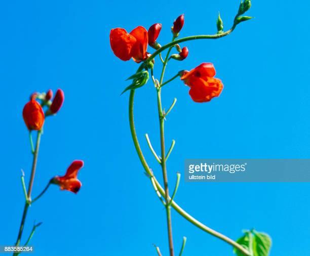 Plant Flower Garden cottage garden wild garden flowers runner bean scarlet runner bean multiflora bean