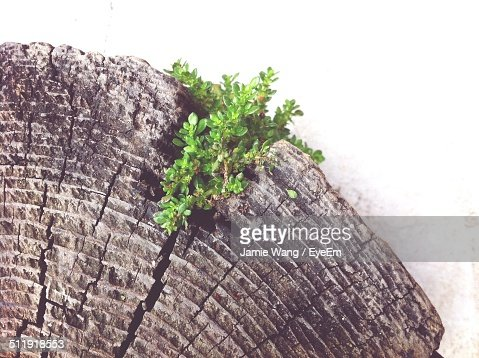 Plant grows out of crack stump