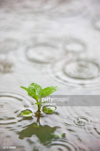 Plant dans une flaque pendant la pluie.