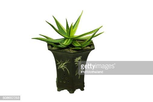 Plant in pot : Stock Photo