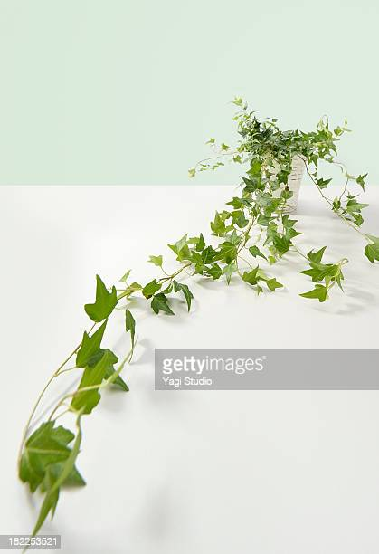 Plant is Hedera helix