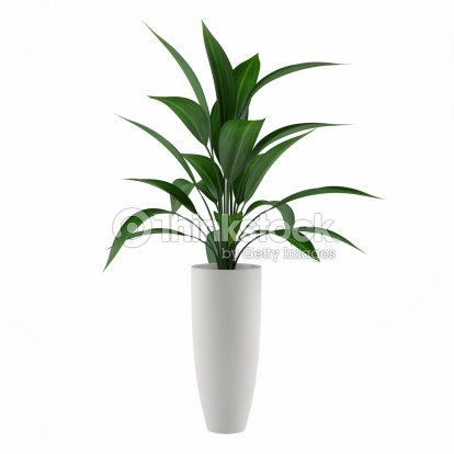 plant isolated in the pot : Stock Photo