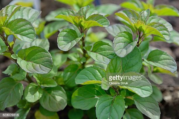 Plant mentha piperita