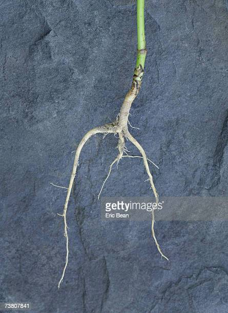 Plant roots on slate rock