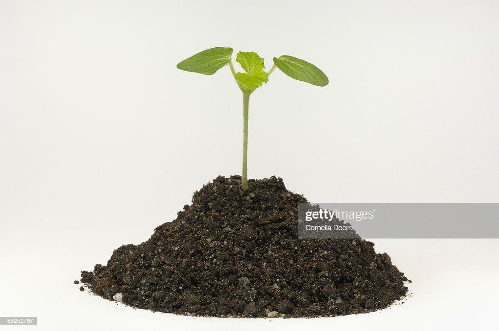 Plant seedling growing in soil  : Stock Photo