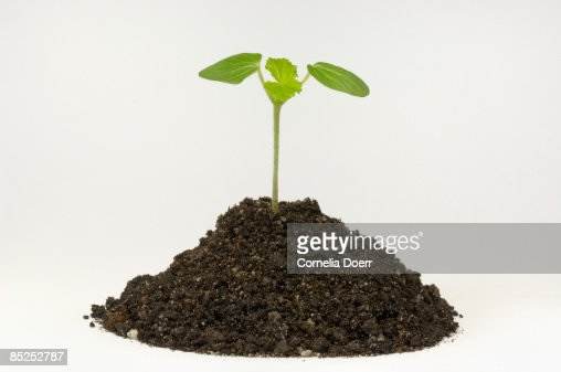 Plant seedling growing in soil  : ストックフォト