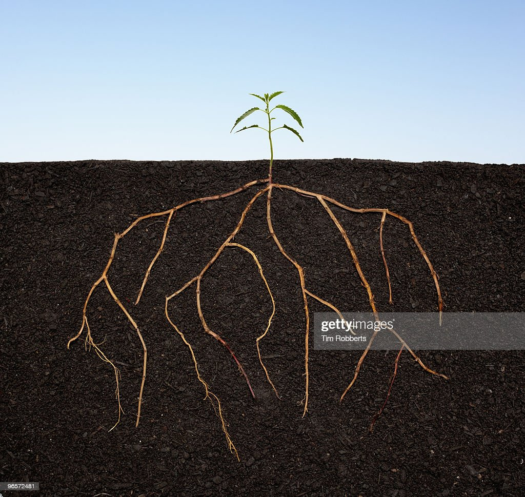 Plant seedling growing with extensive roots. : Stock Photo