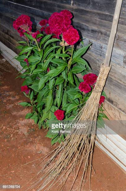 Plant shovel, red carnation planted in the mud and a straw broom in wooden fence