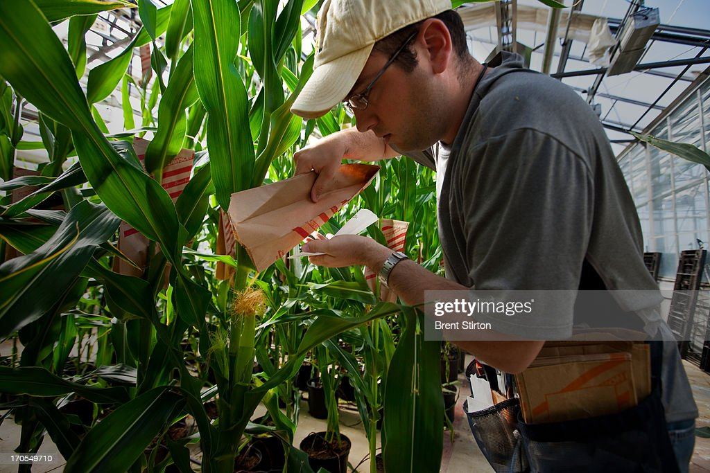 Plant Specialist Dustin McMahon hand pollinates genetically modified corn plants inside greenhouses housed on the roof of Monsanto agribusiness headquarters in St Louis, Missouri, 21 May 2009. McMahon is attempting to breed a resistant strain of corn which will one day form the basis of an elite corn crop of the future. Monsanto is at the forefront of biotechnology in the agribusiness sector. These greenhouses are designed and built inhouse and they allow the technicans to monitor plant growth daily. These plants are monitored for the perfect DNA of an elite corn seed and then those plants that make the grade are forwarded to the next stage of the selection process. Monsanto is a controversial global corporate with a history of strong litigation against those it assumes are interfering with its stringent patent laws. This practise as well as its advanced genetically modified technology approach in the agricultural sector have led many to be suspicious of Monsanto and the ultimate good of GM foods. Monsanto argues back that sufficent food production for the future is simply not possible without adequate GM technology in agriculture.