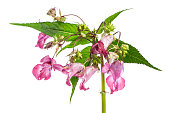 plant studies: Himalayan Balsam - Indian balsam (Impatiens glandulifera)