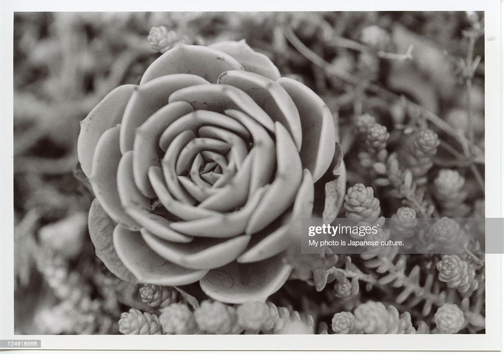 Planta succulent : Stock Photo